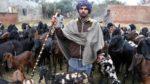 pashu palak punjab feature photo